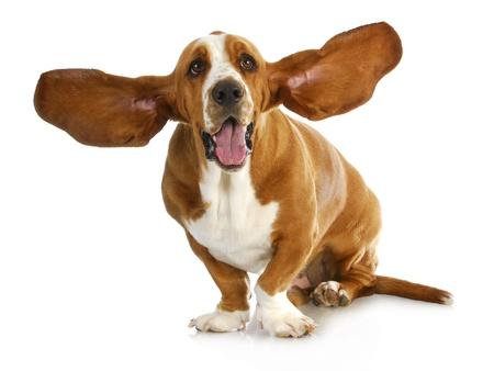 Otitis externa – Ohrentzündung beim Hund